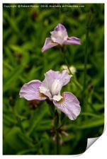 Siberian Iris, Print