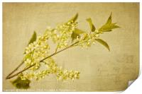Vintage wild cherry blossom, Print