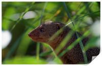 Mongoose, Print