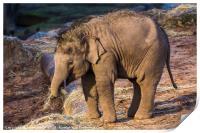 Asian elephant calf, Print