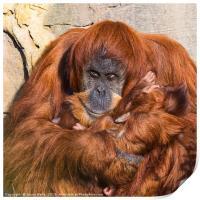 Mother and baby Sumatran Orangutans, Print