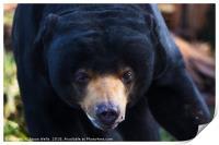 Malayan sun bear wonders towards the camera, Print