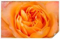 Beautiful Yellow Peace Rose , Print