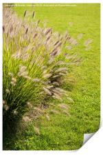Grass clump Pennisetum alopecuroides, Print
