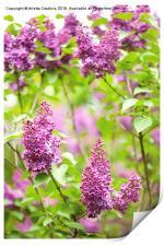 Purple Syringa vulgaris or lilac bush detail , Print