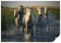White horses running through water - camargue, Print