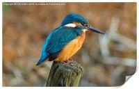 The Kingfisher, Print