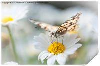 Painted Lady, Print