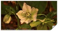 """""""Evening light on the Hellebores"""", Print"""