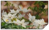 """"""" Wood Anemones in a breezy Durham wood"""", Print"""