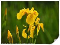"""Iris in the reeds, Print"