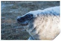 Young Grey Seal at Donna Nook, Print