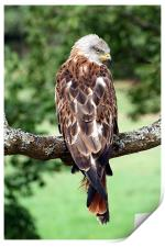 Red Kite (Milvus milvus), Print