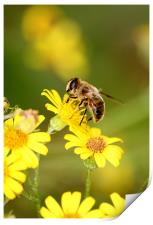 Bee collecting Nectar, Print