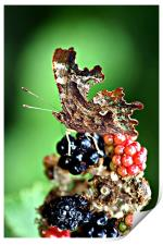 Butterfly attarcted to Summer Fruits, Print