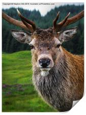 Stag Portrait in the Highlands of Scotland , Print