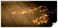 Illuminated Autumn Beech , Print