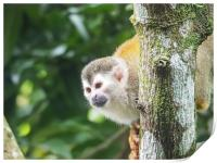 Squirrel Monkey   Views around Costa Rica , Print