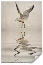 Black-headed gull, Print