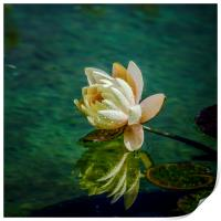 Water Lily after rain, Print