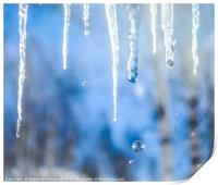 Icicles with drops in a birch grove, Print