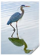 Blue Heron reflection, Print