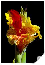 Canna Lily, Print