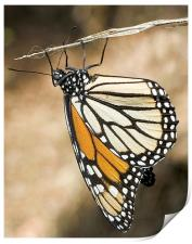 Monarch Butterfly, closeup on a twig, Print