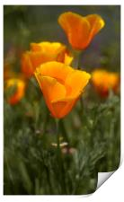 California Poppy, (Eschscholzia californica), Print