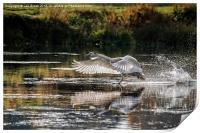 Juvenile Mute Swan Treading Water, Print