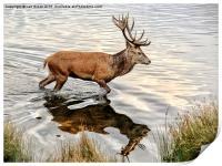 Red Deer Stag , Print