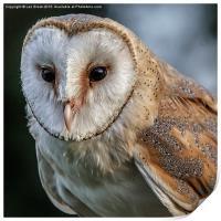 Barn Owl Portrait, Print