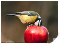 Detailed blue tit with beak inside a red apple, Print