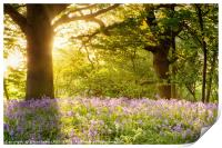 Bluebell wood with magical morning sunrise, Print