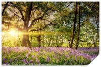 Stunning bluebell forest in spring sunrise, Print