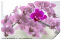 Single  purple orchid in front of pink orchids, Print