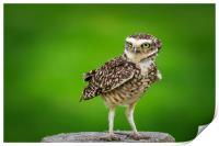 Burrowing owl (Athene cunicularia), Print