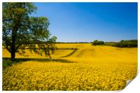 Rapeseed field,West Sussex, England , Print