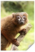 Red Bellied Lemur on a tree, Print