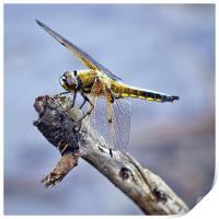 Four-spotted Chaser Dragonfly - Libellula quadrima, Print