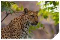 Panthera pardus #1, Print