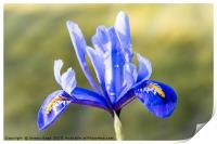 Blue Iris, Print