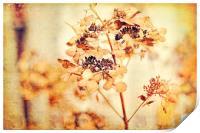 Hydrangeas in the autumn , Print