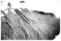 Black and White Barley Ears, Print