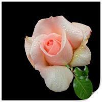 A Pink Rose, Print