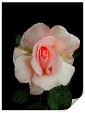 Roses And Rain, Print