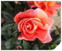 Raindrops on petals, Print