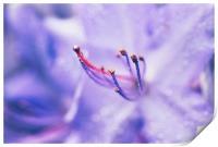 Soft Lilac, Print