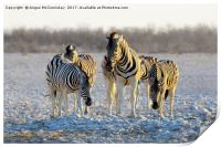 Group of zebras at waterhole at first light, Print