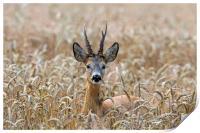 Roe Deer in Wheat Field, Print